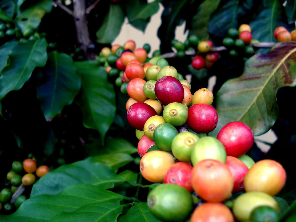 The Origin Of Coffee And Its Cultivation A Starbucks Coffee Blog